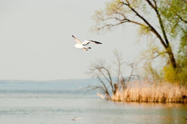 A gull glides through the air over Lake Mendota